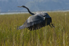 Great Blue Lift-off Stock Photography
