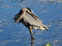 Great blue heron in pond stock photography
