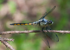 Great Blue Skimmer Royalty Free Stock Photo