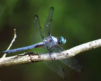 Great Blue skimmer dragonfly. A Great blue skimmer dragonfly (Libellula vibrans)with wings outspread on a tree branch Stock Photos