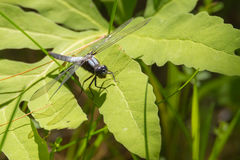 Male Chalk-fronted Corporal (Ladona julia) dragonfly. Male Chalk-fronted Corporal (Ladona julia) dragonfly rests in sunlight on the leaves royalty free stock photo