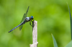 Great Blue Skimmer. Perched on a plant royalty free stock photography