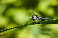 Great Blue Skimmer. Perched on a plant royalty free stock photos