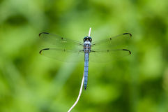Great Blue Skimmer. Perched on a plant stock images