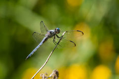 Great Blue Skimmer. Perched on a plant royalty free stock photo