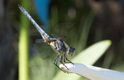 Great blue skimmer Royalty Free Stock Images