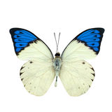 Great blue Tip butterfly isolated on white Royalty Free Stock Photos