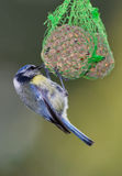 The great blue tit Royalty Free Stock Photography