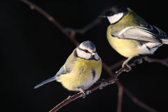 Great and Blue tit Royalty Free Stock Image