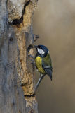 Great blue tit blue yellow and white bird stock photo