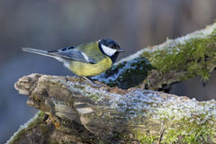 Great blue tit blue yellow and white bird royalty free stock photos