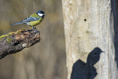Great blue tit blue yellow and white bird Stock Images