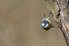 Great blue tit blue yellow and white bird Stock Photography