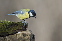 Great blue tit blue yellow and white bird royalty free stock images