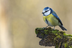 Great blue tit royalty free stock photography