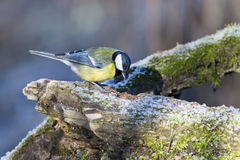 Great blue tit in winter time Royalty Free Stock Photography