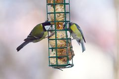 Great and blue tits on feeder Stock Image