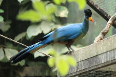 Great blue turaco Stock Image