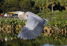 Great Blue Wings Stock Photo