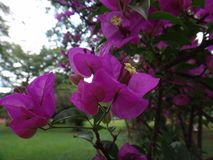 Great bougainvillea Royalty Free Stock Photo