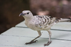 Great Bowerbird Looking for Lunch Scraps Stock Photo