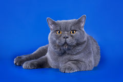 Great British cat isolated on the blue background Stock Images