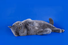 Great British cat isolated on the blue background Royalty Free Stock Photo