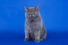Great British cat isolated on the blue background Royalty Free Stock Image