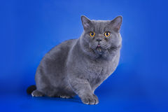 Great British cat isolated on the blue background Stock Photo