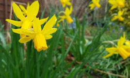 The Great British Daff. Yellow daffodil spring time stock image