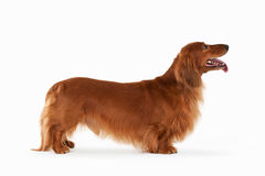 Great Brown dachshund on white background Stock Images