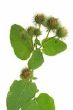 Great Burdock (Arctium lappa) Royalty Free Stock Images