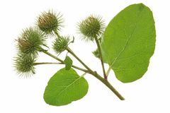Great Burdock (Arctium lappa) Royalty Free Stock Image