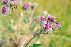 Great Burdock (Arctium lappa) flower Royalty Free Stock Images