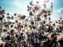 Great burdock Royalty Free Stock Image