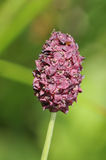 Great Burnet Flower Stock Photo