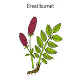 Great burnet Sanguisorba officinalis , medicinal plant Stock Image