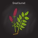 Great burnet Sanguisorba officinalis , medicinal plant Stock Images