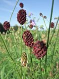 Great Burnet in sunny ambiance Stock Image