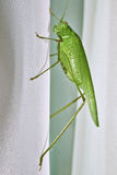 Great bush green cricket Royalty Free Stock Image
