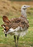 Great Bustard. Portrait of an endangered Great Bustard Stock Images