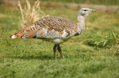 Great Bustard Royalty Free Stock Image