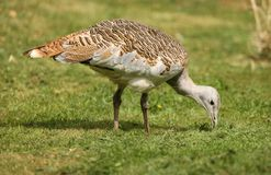 Great Bustard Royalty Free Stock Photography