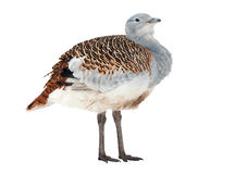Great Bustard Stock Photography