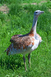 Great bustard Stock Photo
