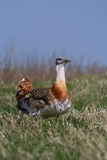 Great bustard Royalty Free Stock Photo