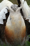 Great bustard. Portrait of a wooing great bustard (Otis tarda Stock Images