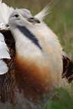 Great bustard. Portrait of a wooing great bustard (Otis tarda Royalty Free Stock Photography