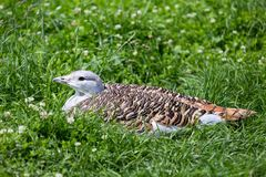 Great Bustard Stock Photos