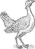 Great bustard bird drawing Royalty Free Stock Images